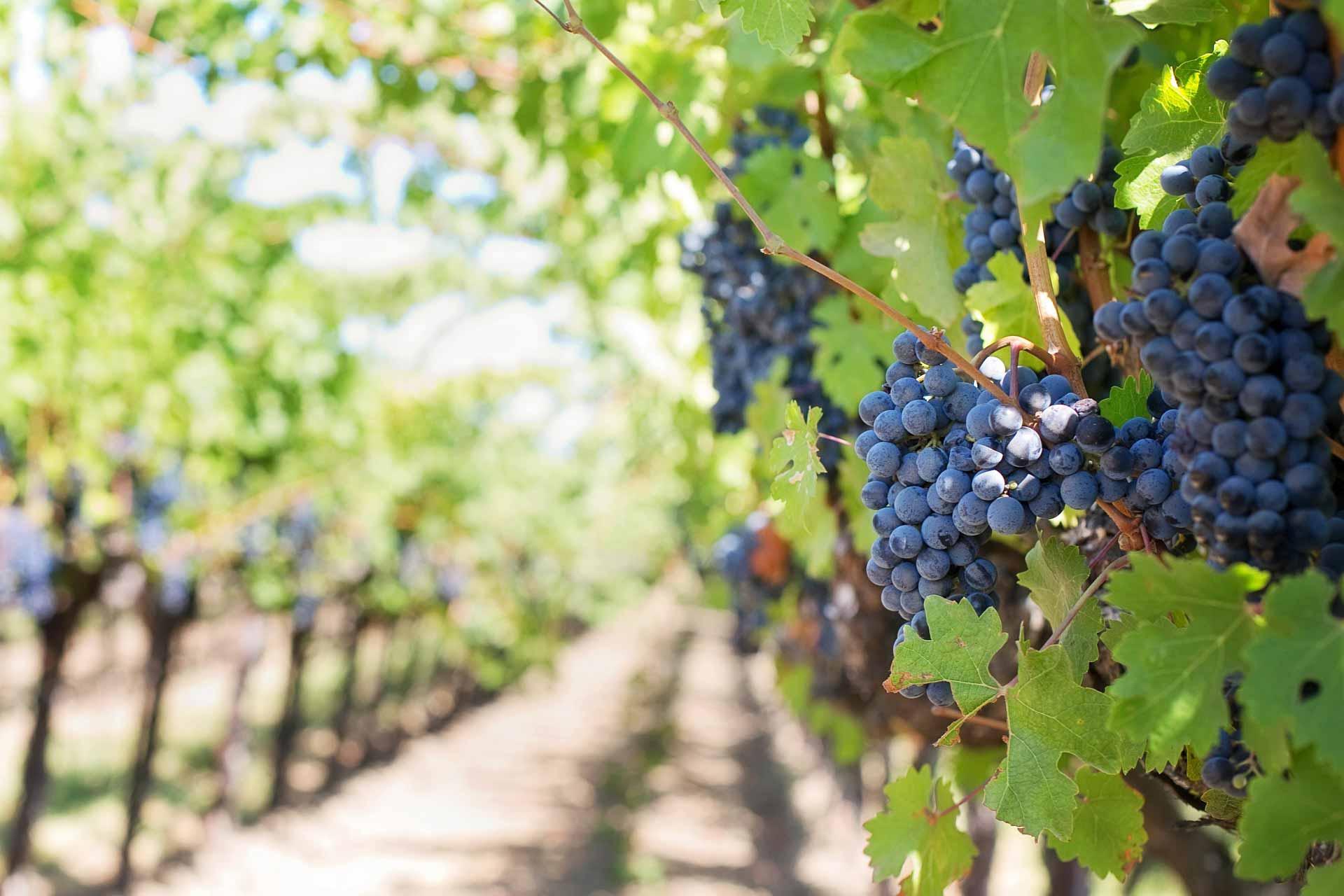 Weintrauben am Weinberg